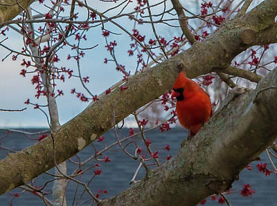 Photograph - Northern Cardinal by Wendy Carrington