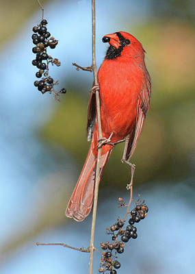 Photograph - Northern Cardinal With Berry by Alan Lenk