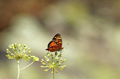 Photograph - Northern Crescent Butterfly by Debbie Oppermann