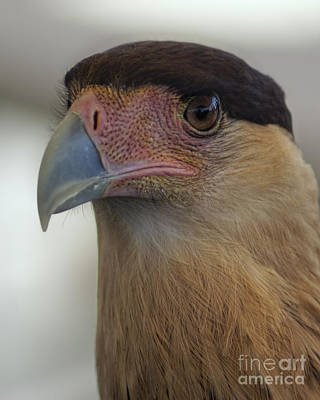 Photograph - Northern Crested Caracara Portrait by Olga Hamilton