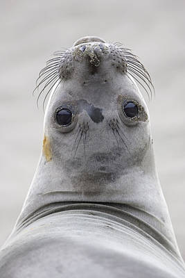 Northern Elephant Seal Looking Back Print by Ingo Arndt