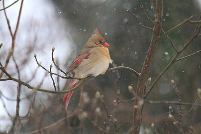 Photograph - Northern Female Cardinal by Living Color Photography Lorraine Lynch