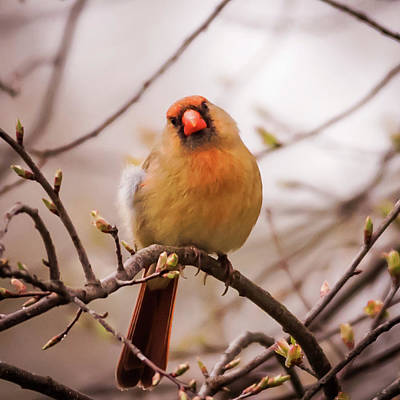 Photograph - Northern Female Cardinal Pose by Terry DeLuco