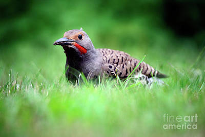 Photograph - Northern Flicker 2 by Terry Elniski