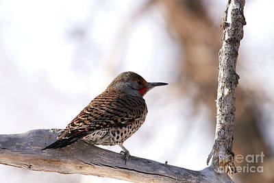 Photograph - Northern Flicker by Alyce Taylor