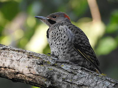 Photograph - Northern Flicker by Betty-Anne McDonald