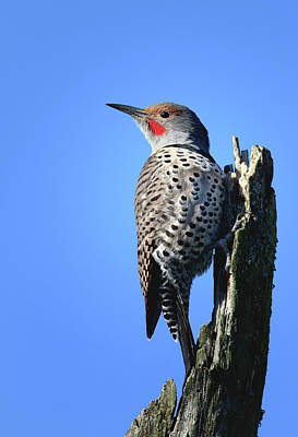 Photograph - Northern Flicker by Craig Strand