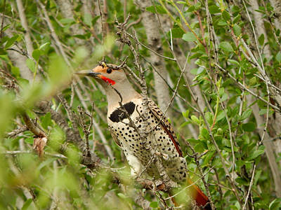 Photograph - Northern Flicker by Dan Miller