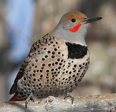 Grey Photograph - Northern Flicker by Gary Wing