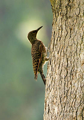 Photograph - Northern Flicker Halo by Mike Dawson