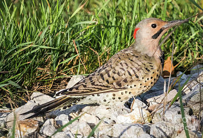 Photograph - Northern Flicker In The Backyard by Ricky L Jones