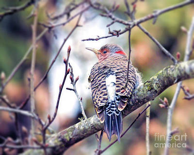 Photograph - Northern Flicker by Kerri Farley
