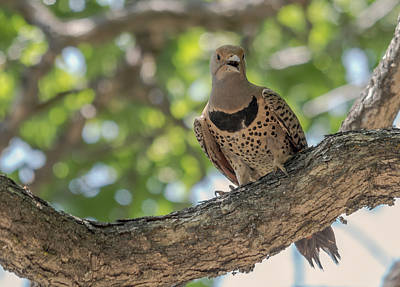 Photograph - Northern Flicker by Loree Johnson