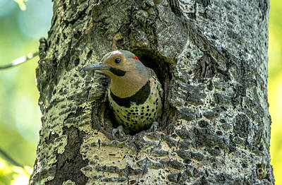 Photograph - Northern Flicker Nest by Cheryl Baxter