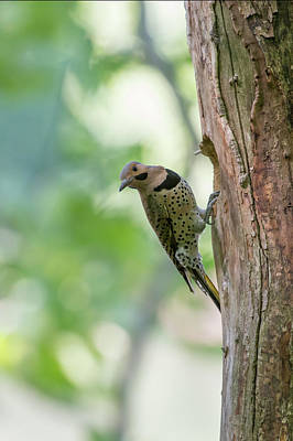 Photograph - Northern Flicker Outside The Home by Dan Friend
