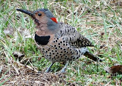 Photograph - Northern Flicker  by Rebecca Overton