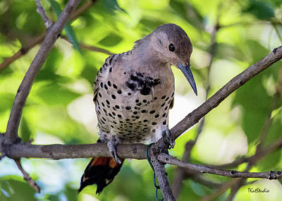 Photograph - Northern Flicker by Tim Kathka