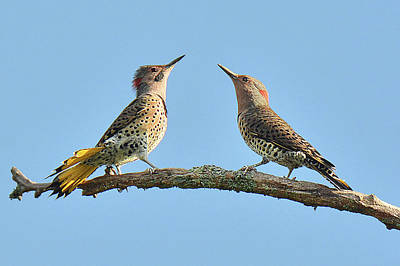 Photograph - Northern Flickers by Alan Lenk