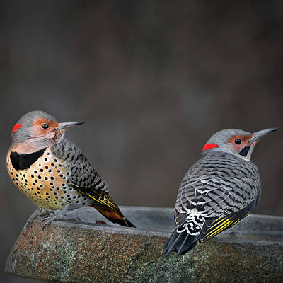 Woodpeckers Photograph - Northern Flickers Square by Bill Wakeley