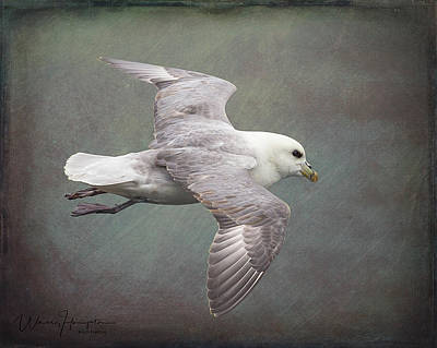 Photograph - Northern Fulmar - 1717,st by Wally Hampton