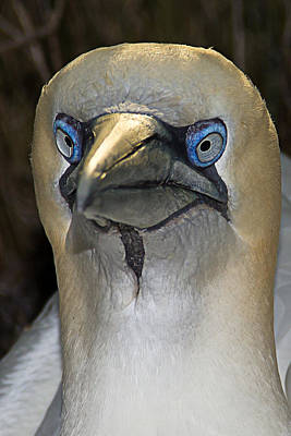 Photograph - Northern Gannet by Brian Wright
