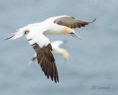 Photograph - Northern Gannet by CR Courson