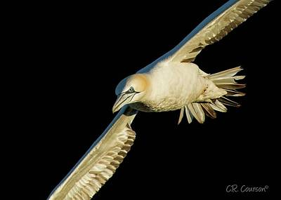 Photograph - Northern Gannet Flight Closeup by CR Courson