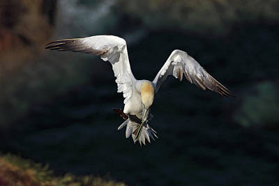 Photograph - Northern Gannet In Flight 2 by Grant Glendinning