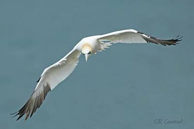 Photograph - Northern Gannet In Flight by CR Courson