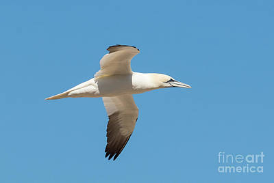 Photograph - Northern Gannet In Flight by Les Palenik