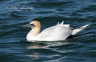 Photograph - Northern Gannet On The Water by Mike Fitzgerald
