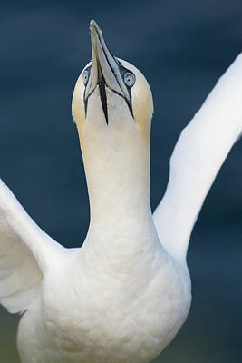 Photograph - Northern Gannet Stretching Its Wings by Karen Van Der Zijden