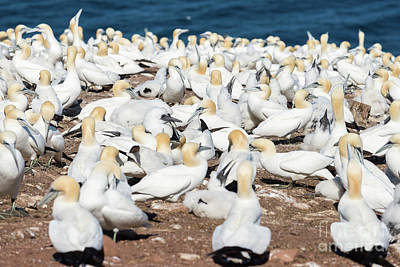 Photograph - Northern Gannets by Les Palenik