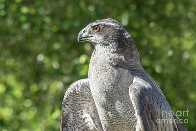 Photograph - Northern Goshawk by Angie Rea