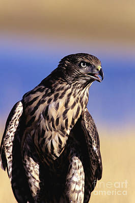 Northern Goshawk Art Print by John Hyde - Printscapes