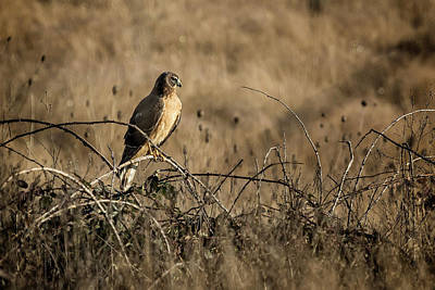Photograph - Northern Harrier At William L Finley by Belinda Greb