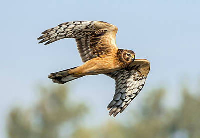 Photograph - Northern Harrier Beauty by Loree Johnson