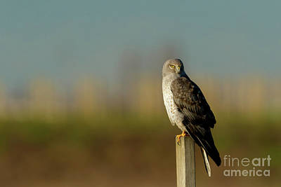 Photograph - Northern Harrier by Beve Brown-Clark Photography