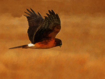 Hawk Birds Digital Art - Northern Harrier Digital Art by Ernie Echols