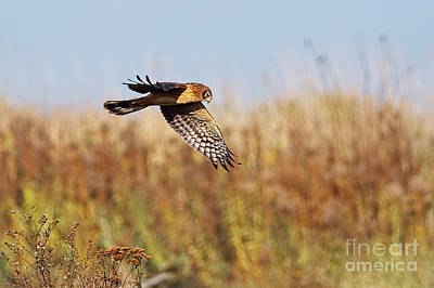 Photograph - Northern Harrier Female Adult by Sharon Talson