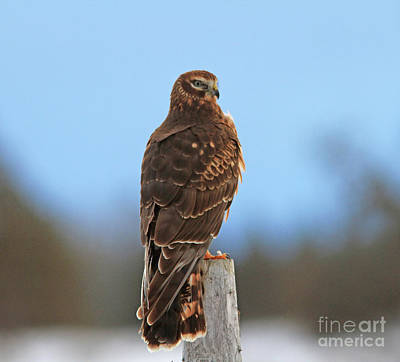 Juvenile Wall Art - Photograph - Northern Harrier by Gary Wing