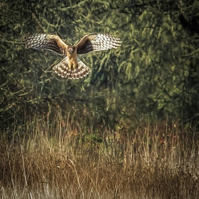 Photograph - Northern Harrier Hovering by Belinda Greb