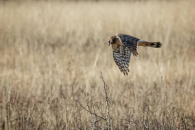 Photograph - Northern Harrier Hunting, No. 2 by Belinda Greb