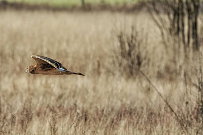 Photograph - Northern Harrier Hunting, No. 3 by Belinda Greb