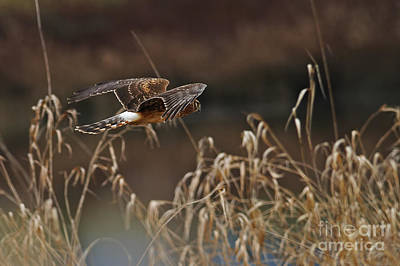 Photograph - Northern Harrier In-flight Female by Sharon Talson