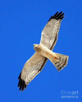 Bif Photograph - Northern Harrier In Flight by Wingsdomain Art and Photography