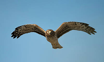 Photograph - Northern Harrier In Your Face by Loree Johnson