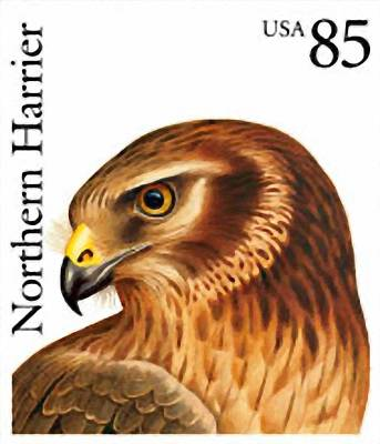 Harrier Painting - Northern Harrier by Lanjee Chee