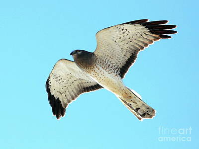 Bif Photograph - Northern Harrier Marsh Hawk In Flight . 40d3808 by Wingsdomain Art and Photography