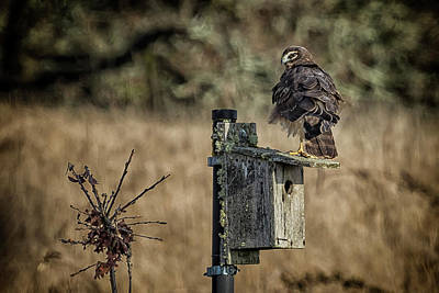 Photograph - Northern Harrier With Ruffled Feathers by Belinda Greb